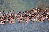 Dozens of flamingoes taking off in bogoria lake national park kenya — Stock Photo