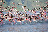 Dozens of flamingoes taking off in bogoria lake national park kenya — Stock Photo