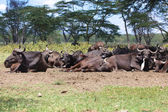Group of water buffaloes having rest in naivasha lake national game park kenya — ストック写真