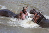 Hippopotamuses fighting at masai mara national game park  — Stock Photo
