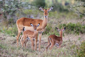 Impala with her two cubs in naivasha lake national game park — Stock Photo