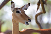 Impala looking at me at naivasha lake national game park  — Stock Photo