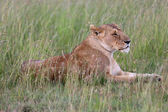 Lioness is sleeping in the savanna at masai mara national game park — Stock Photo