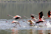 Take off of lesser flamingoes at bogoria lake national park kenya — Stock Photo