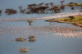 Take off of thousands flamingoes seen from a cliff at bogoria lake national park kenya — Stock Photo