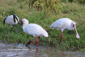 Two african spoonbill fishing in naivasha lake national game park kenya — Stock Photo