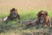 Two beautiful lions at masai mara national park kenya — Stock Photo