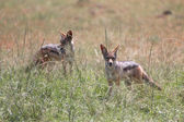Two black backed jackals at the masai mara national park kenya — Stock Photo
