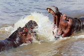 Two hippopotamuses fighting at masai mara national game park  — Stok fotoğraf