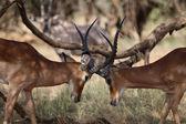 Due impala combattimenti in gioco parco samburu — Foto Stock