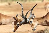 Due impala combattimenti nel parco nazionale del gioco samburu — Foto Stock