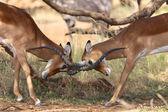 Due impala combattimenti in gioco nazionale samburu parcheggia kenya — Foto Stock