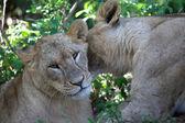 Two lionesses hugging at naivasha lake national game park kenya — Stock Photo
