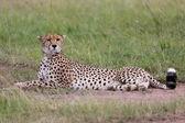 Wonderful cheetah having rest at masai mara national park kenya — Stockfoto