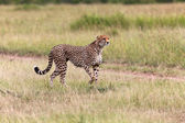 Wonderful cheetah hunting at masai mara national park kenya — ストック写真