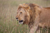 Wonderful lion at the masai mara national park  — Стоковое фото
