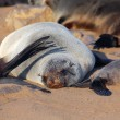 A big fur seal sleeping in cape cross — Stock Photo