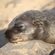 A fur seal sleeping in namibia — Stock Photo