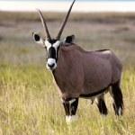 A gemsbok near the pan in etosha namibia — Stock Photo #43304549