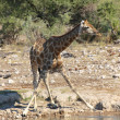 A giraffe at a water hole in etosha — Stock Photo