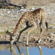 A giraffe drinking in a water hole in etosha — Stock Photo