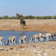 A group of zebras at a waterhole in etosha — Stock Photo