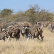 A group of zebras in etosha national park — Stock Photo #43308745