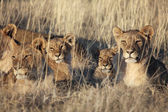Lions in etosha national parl namibia — Stock Photo