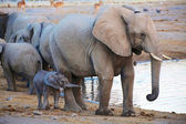 A baby elephant and his mother at etosha national park — Stock Photo