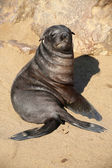 A baby fur seal in cape cross namibia — Stock Photo