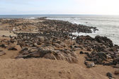 A colony of fur seal in cape cross namibia — Stock Photo