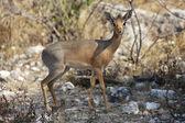 A dik-dik at etosha national park namibia — Стоковое фото