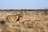 A father lion and his two cubs in etosha — Stock Photo