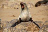 A fur seal in cape cross namibia — Stock Photo