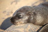 A fur seal sleeping in namibia — Stock Photo