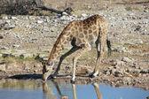 A giraffe drinking in a water hole in etosha — Stock Photo