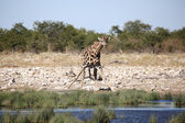 A giraffe drinking water in a water hole at etosha — Stock Photo