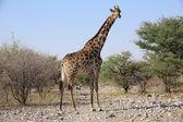 A giraffe in etosha national park namibia — Stock Photo