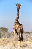 A giraffe in etosha national park namibia — Stock Photo