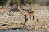 A giraffe surprised at a waterhole in etosha national park — Stock Photo
