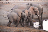 A group of elephants drinking water in hole in etosha  — Stock Photo