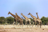 A group of five giraffes in etosha national park — Stock Photo