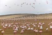 A group of flamingo in front of a dune at walvis bay — Stock Photo