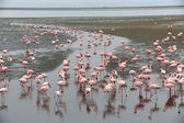 A group of flamingoes in walvis bay  — 图库照片