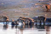 A group of hyenas taking a bath in etosha — Stock Photo