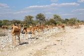 Un gruppo di impala nel parco nazionale di etosha — Foto Stock