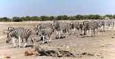 A group of zebras approaching a waterhole in etosha — Stock Photo