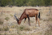 A hartebeest eating grass in etosha national park — Stock Photo
