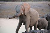 A huge elephant in etosha national park — Stockfoto