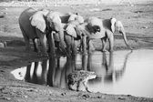 A hyena looking at elephants at etosha — Stock Photo